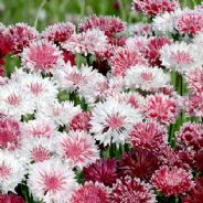 Cornflower Classic Romantic 200 seeds